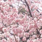 寒桜(カンザクラ) ~ 成田廣文出張日誌
